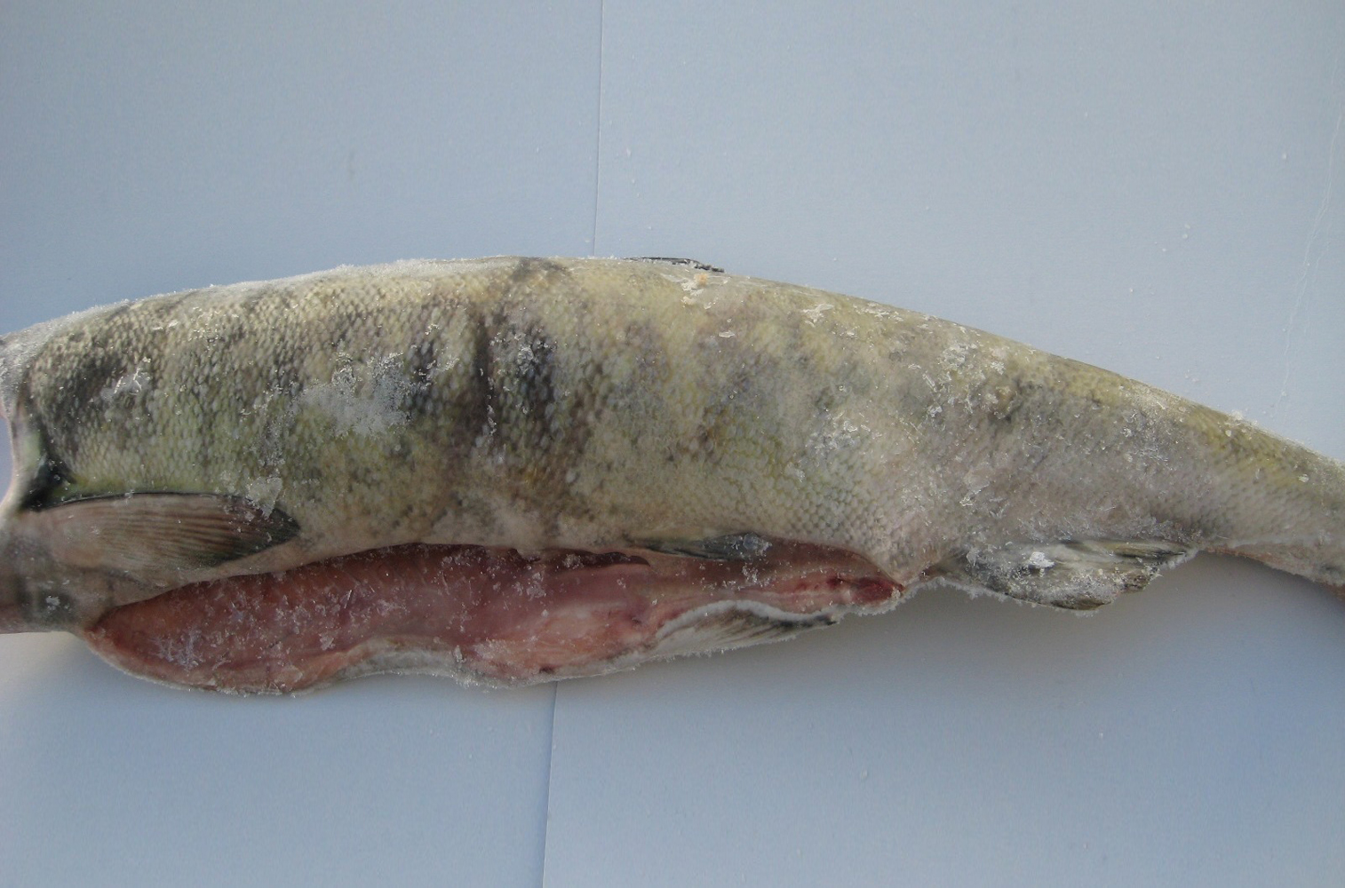 Alaskan H&G Chum Salmon - SALMON - Sea One Seafoods